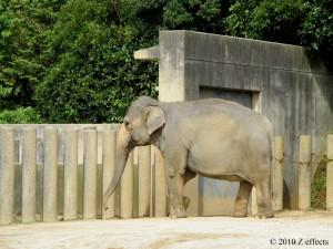 千葉市動物公園。ゾウ